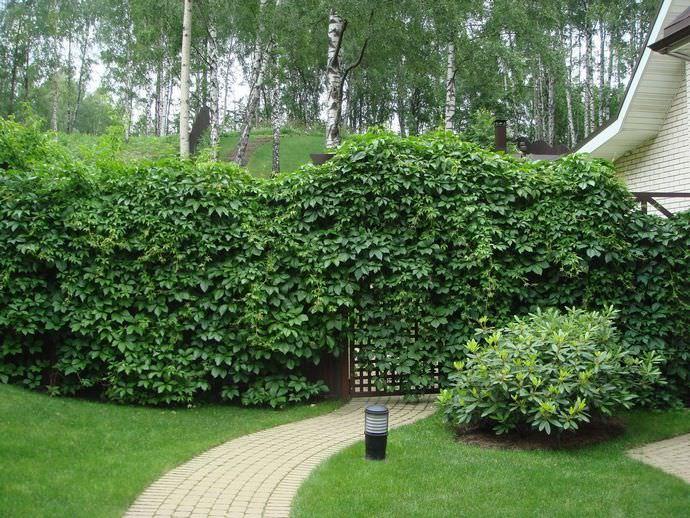 Плющ обыкновенный садовый является одним из самых распространённых вьющихся растений