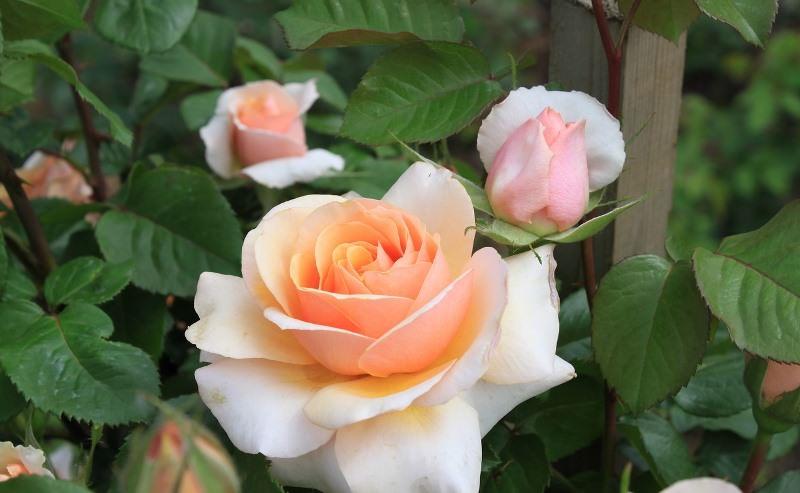 Выращивание гибридных роз на садовом участке