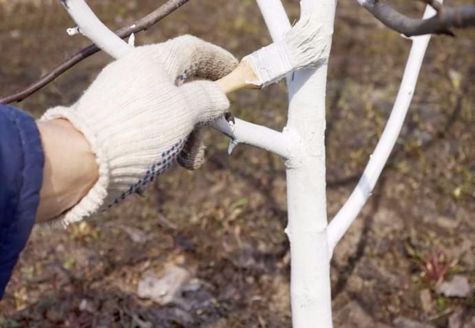 В апреле проводится побелка стволов деревьев