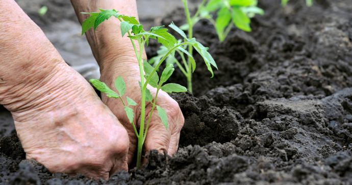 Правильный выбор сорта и применение некоторых агротехнических приемов позволяют вырастить весьма продуктивные растения в открытом грунте