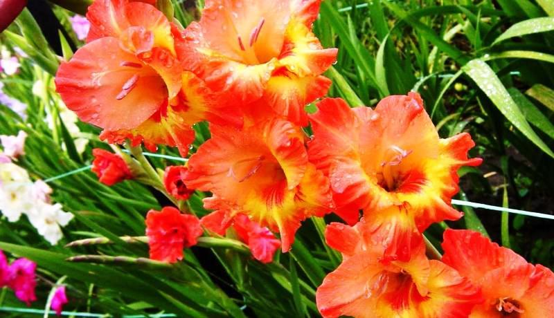 Гладиолусы: выбор сорта, посадка и уход