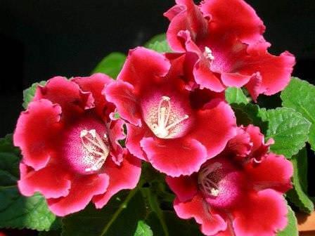Многие любители комнатных растений знакомы с цветком, который называется глоксиния