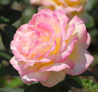 В цветники нашей страны Глория Дей была завезена из немецких питомников