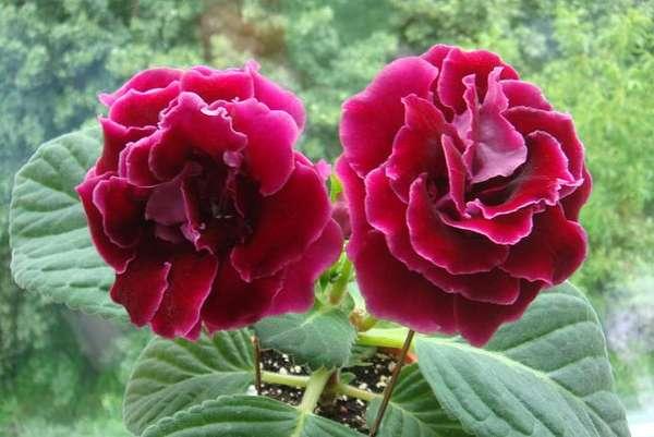 У растения есть необычная способность. Оно помогает в снятии усталости, напряженности у человека, который длительное время занимался монотонной физической или умственной работой