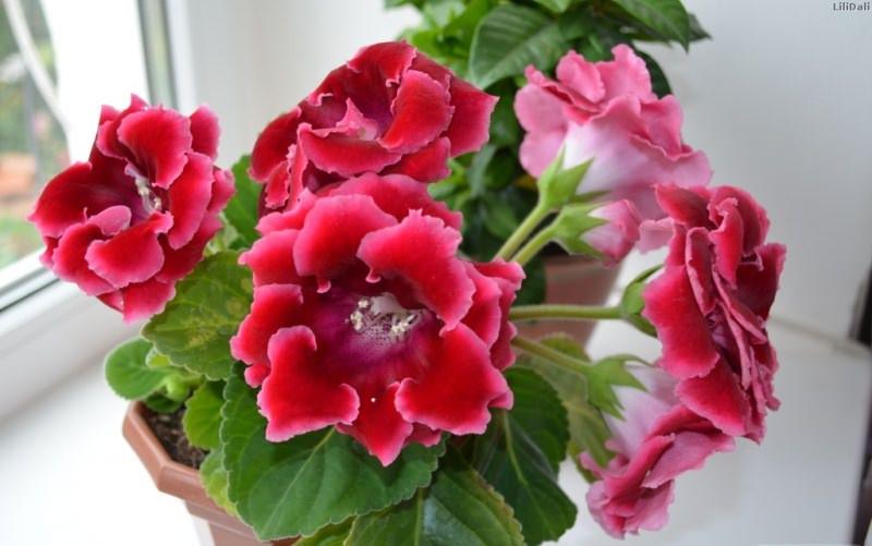 Родина глоксинии — Южная Америка (Бразилия). В европейских странах познакомились с цветком лишь в 19 веке