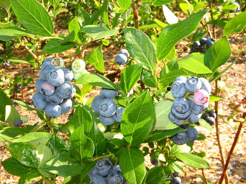 Эту ценную ягоду ценят и успешно используют для лечения многих болезней. Ее можно употреблять в пищу и также применять как лекарство
