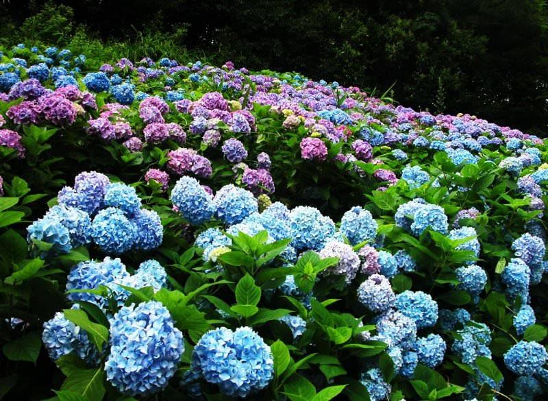 Секреты выращивания гортензии садовой