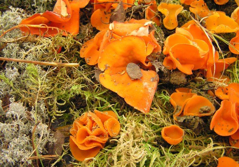Не все грибы оранжевого цвета можно употреблять в пищу