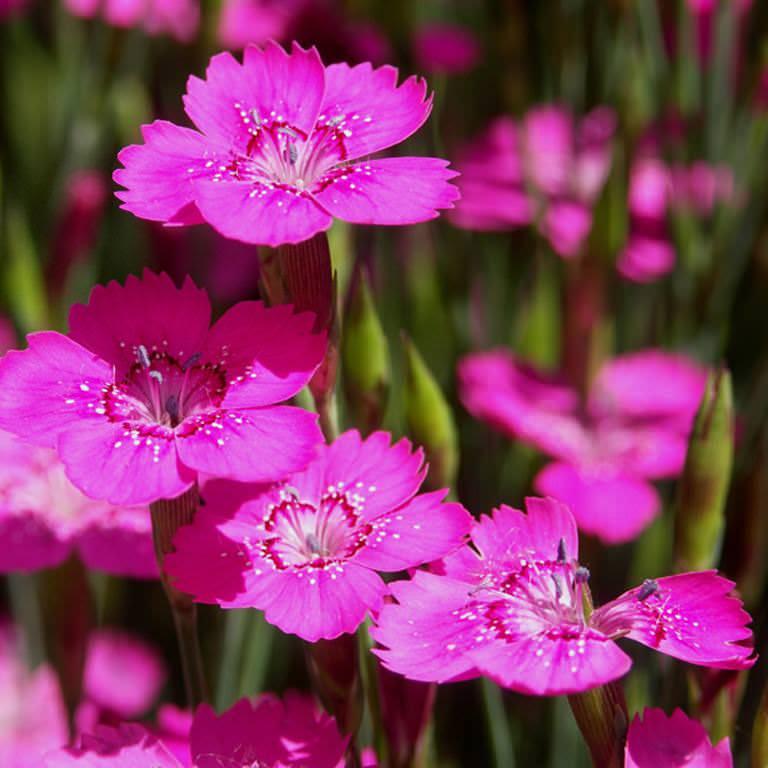 Ценителей прекрасного этот цветок привлекает красивым и долгим цветением, которое будет радовать глаз яркими одиночными пятнышками на зеленой лиственной подушке