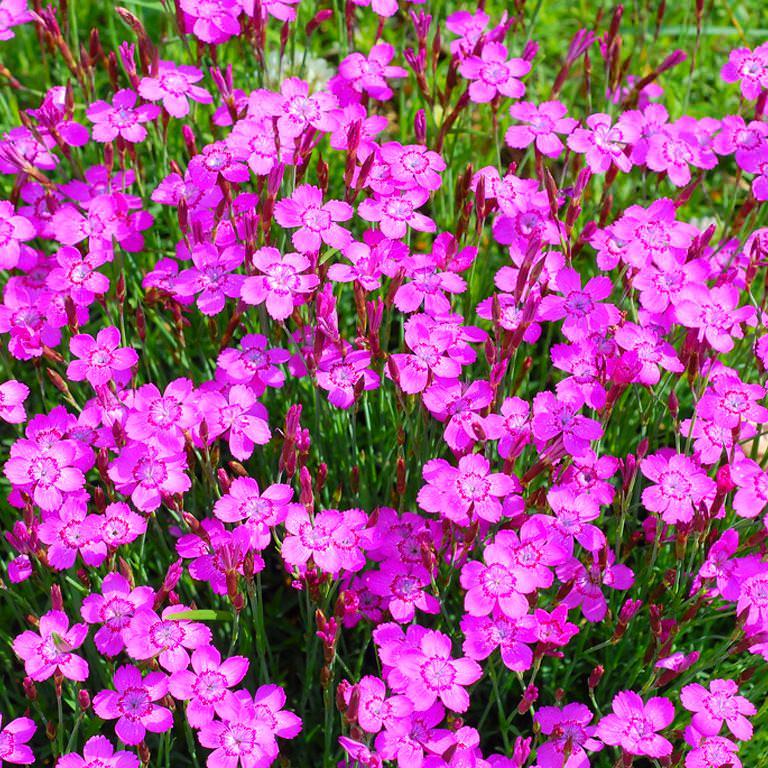Это растение может произрастать в естественных условиях, в то время как большинство других разновидностей требуют постоянного ухода и полива
