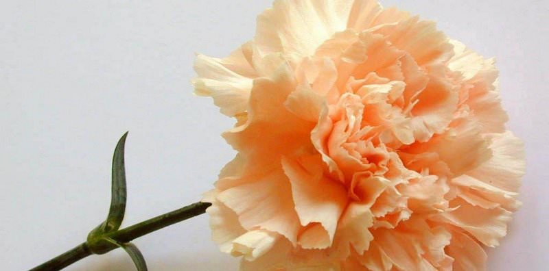 Выращивание гвоздики на даче: советы по размножению и уходу