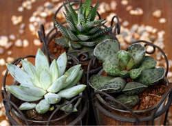 Размножение суккулентов цветоводами успешно осуществляется и в домашних условиях