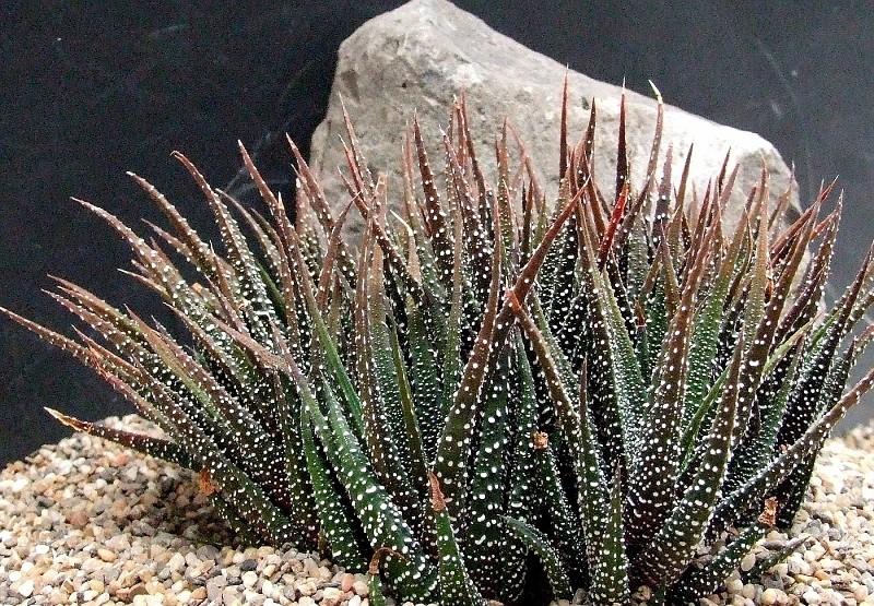 Хавортия: характеристика видов и особенности выращивания