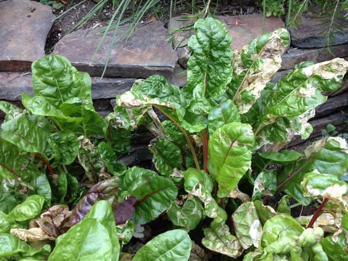При недостатке железа или хлорозе, нижняя листва свеклы желтеет, а кончики ботвы постепенно отмирают