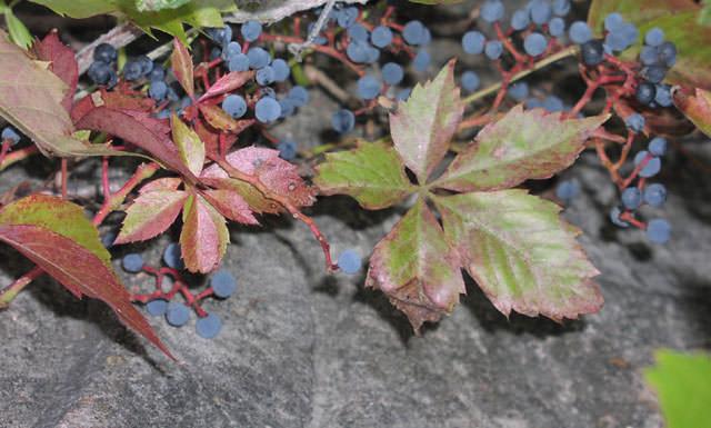 Лучше всего высаживать девичий виноград на солнечных участках
