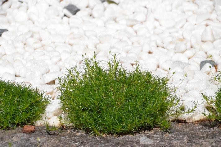 Кусочки мшанки высаживают или рядом друг с другом или на некотором расстоянии, в зависимости от количества посадочного материала