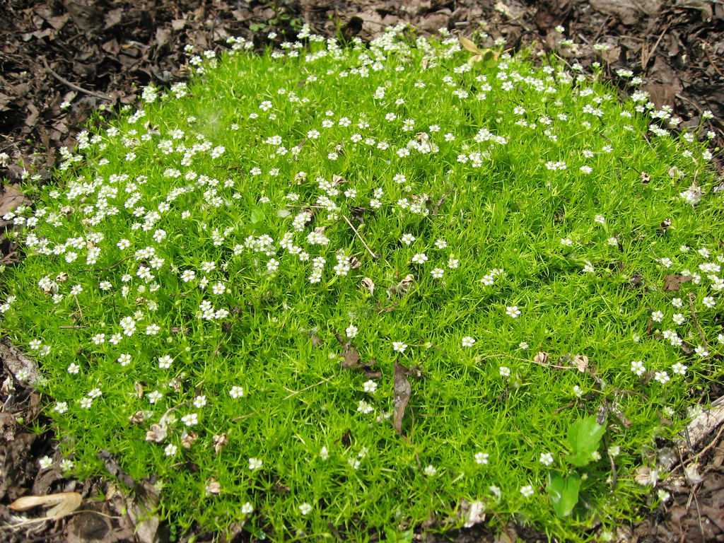 Мшанку или ирландский мох используют для создания нетравяного газона