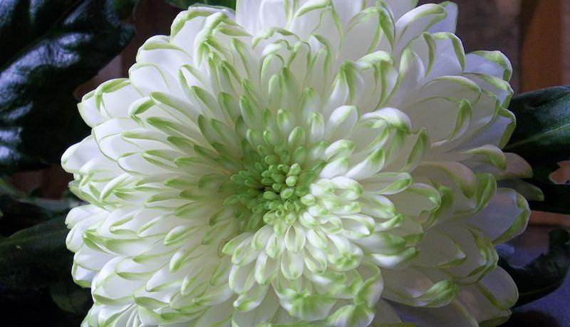 Садовая хризантема: цветок солнца