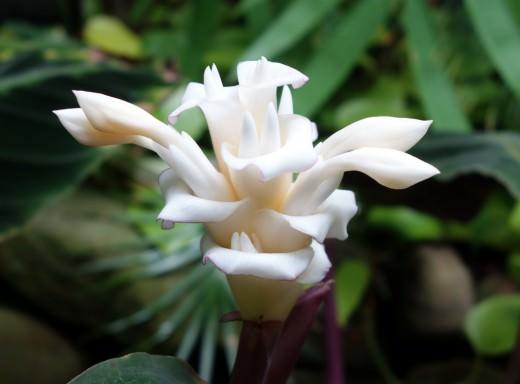 Калатея Варшевича цветет крупными красивыми цветами, похожими на кремовое пирожное белого или розового цвета