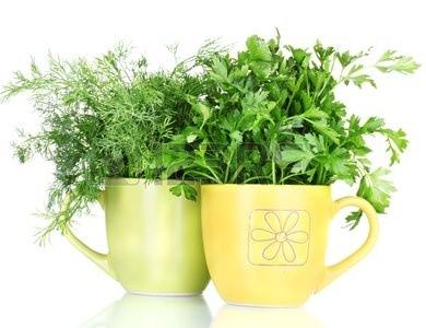 Укроп и петрушка являются наиболее востребованными зеленными культурами