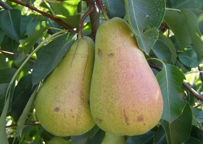 Характерным сортовым признаком груши Вильямс зимний является наличие ржаво-коричневой полосы, проходящей по всей длине плода