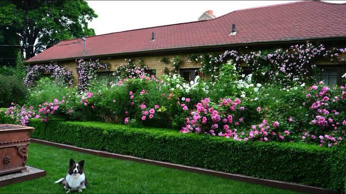 Украшаются живые изгороди цветами