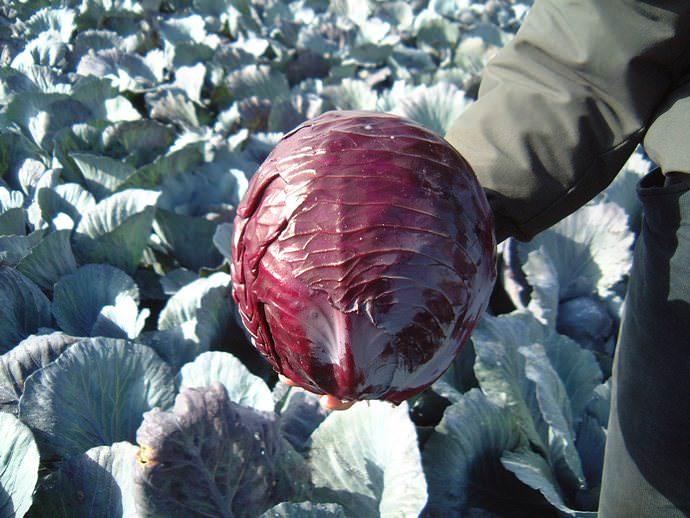 Оптимальные температурные показатели для роста и развития огородной культуры должны составлять не менее 15-17оС