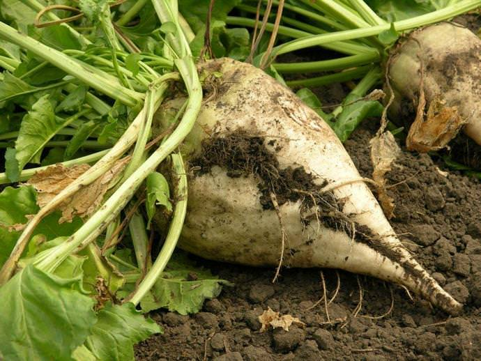 Если правильно собран урожай, а корнеплоды не имеют повреждений, то урожай без потерь может храниться на протяжении всей зимы, а иногда и весны