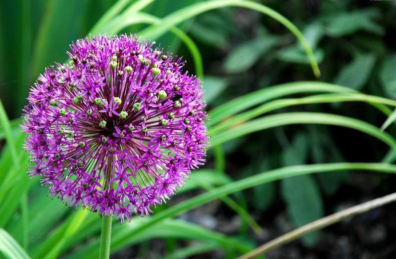 Польза и лечебные свойства индийского лука