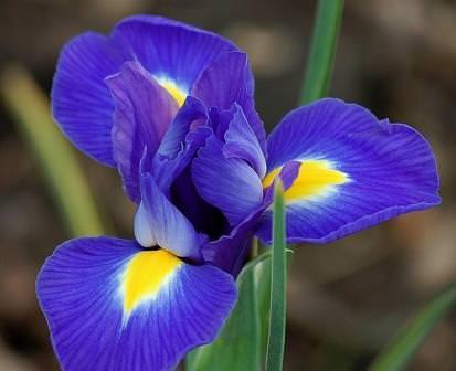 """Ирис (народное название """"Касатик"""") - это многолетнее цветущее зимующее растение, которое имеет заостренные прямостоящие плотные листья и ярко окрашенные крупные цветки"""