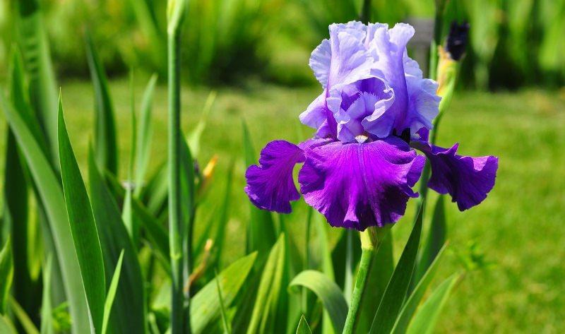 Ирисы цветут начиная, примерно, с середины мая и до начала июля