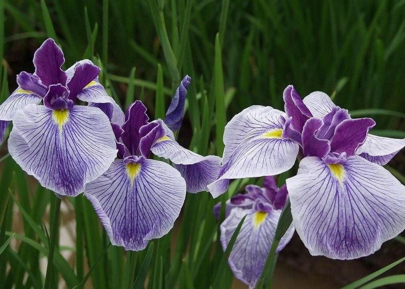 Посадка ирисов в саду — прекрасный способ обеспечить его непрерывное цветение, заполнив промежуток когда ранние весенние растения уже отцвели, а летние еще не начали