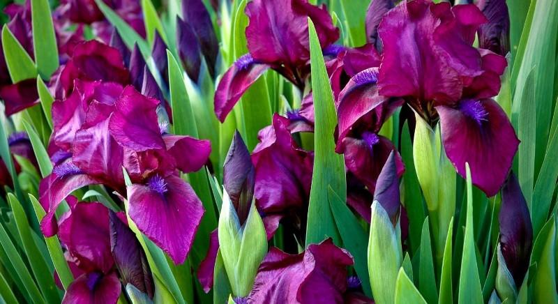 Окраска у цветов ирисов бывает самой разнообразной, и порой, весьма экзотичной