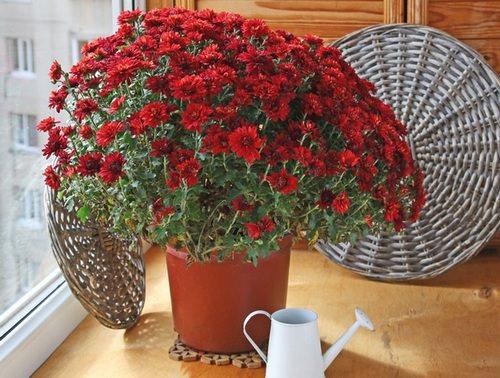 Одним из популярных видов растения является хризантема кустовая