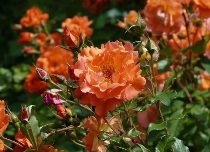 роза парковая вестерленд фото описание помогает фотографу, скажу
