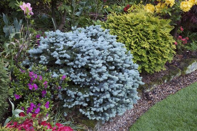 Зеленые ели и карликовая или низкорослая сосна способны привнести в ландшафтный дизайн участка недостающую цветовую глубину