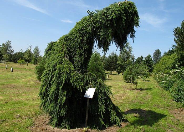 Плакучая елка используется в любых необычных и оригинальных ландшафтных решениях