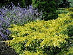 Можжевельник Голд Стар – одно из лучших вечнозеленых растений для сада