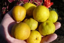 Со времен античности айва широко использовалась в пищу