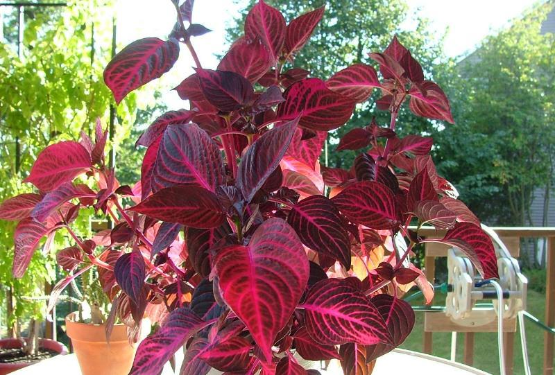 Выращивание каладиума в саду
