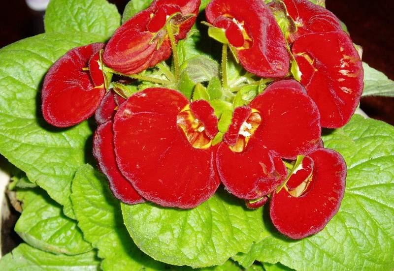 Кальцеолярия: особенности выращивания, посадка и уход