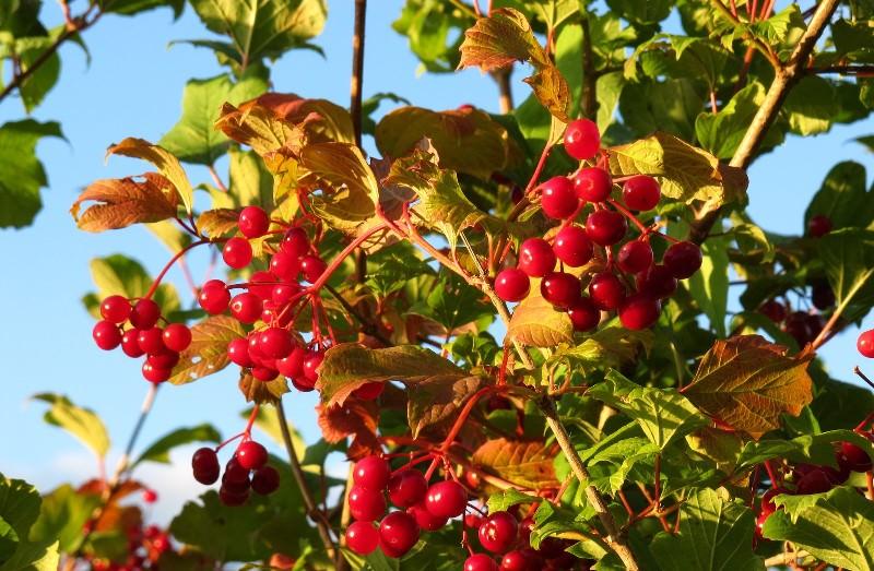 Калина в саду: выращивание и уход