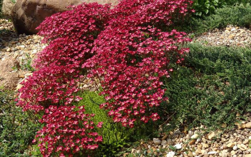 Камнеломка: декорируем сад цветущим ковром