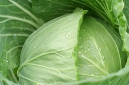 Вкусная и популярная листовая капуста