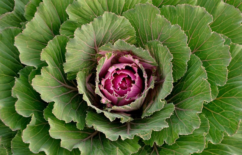 Этому виду капусты для полноценного роста необходимо обилие воды