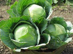 Капуста – это красивый, а также очень вкусный овощ
