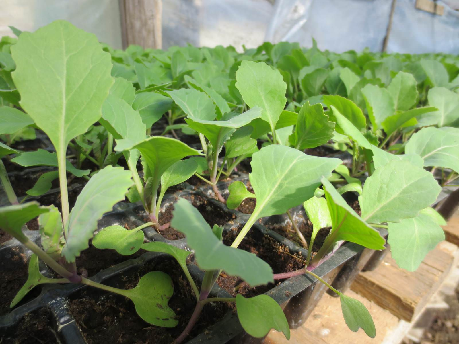 На Урале для раннеспелой белокочанной капусты больше подойдет апрельский период