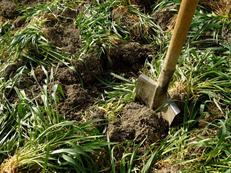 Сидераты под картофель обладают большой корневой системой, которая способствует рыхлению грунта
