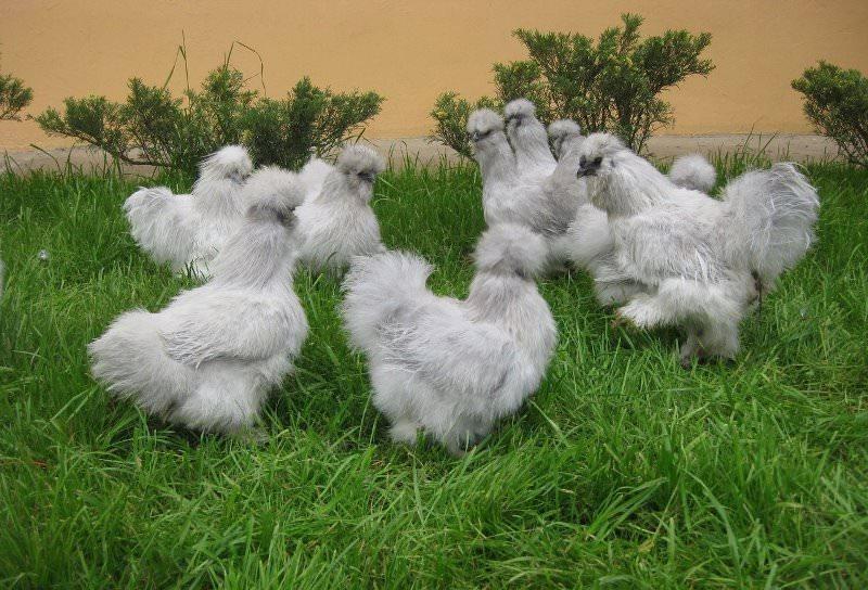 Отдельного внимания заслуживает оперение этих птиц. Оно больше напоминает мягкий мех животных