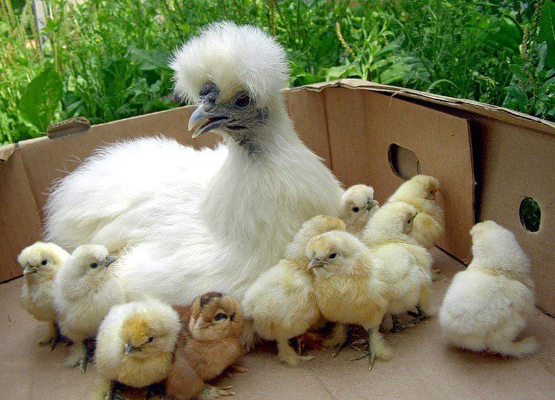 Для получения качественного поголовья этих птиц заводчики рекомендуют приобретать яйца из инкубатора или взрослых неродственных особей разных полов
